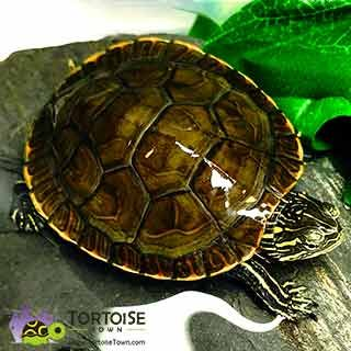 Aquatic Turtles For Sale Turtles For Sale Aquatic Turtles Baby
