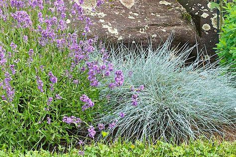 festuca glauca 'elijah blue' and english lavender.   bed med, Gartenarbeit ideen