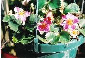 """STRAWBERRY PLANT """"LIPSTICK"""" PINK BLOOMS!  $15.00  THE STRAWBERRY PLANT """"FRAGARIA LIPSTICK"""" IS A EVERBEARING PLANT NOTHING LIKE THE STRAWBERRIES GROWN IN THE PAST. Read more http://www.goodkarmaco.com/product.sc;jsessionid=24FF30CBD99D1D5E4EAD911262DE0421.qscstrfrnt04?productId=9=1"""