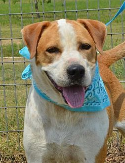 Hound Unknown Type Boxer Mix Dog For Adoption In Liverpool Texas Walker Pets Hound Dog Pet Adoption