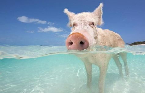 On the beaches of Big Major Spot Island, the Bahamas, a family of brown and pink boards and piglets live freely on the sandy white beaches and swim the tropical surf!  Amazing!