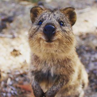 Quokka Niedliche Tiere Tiere Tier Fotos