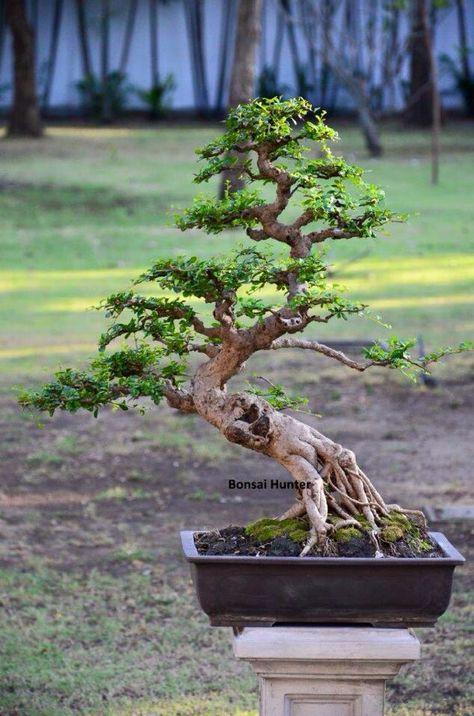 Foto Gaya Bebas : bebas, BEBAS, Ideas, Bonsai,, Bonsai, Tree,