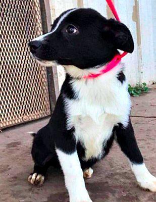Petango Com Meet Luna 2y 9m Border Collie Mix Available For Adoption In Panama City Fl Pets Panama City Panama Border Collie