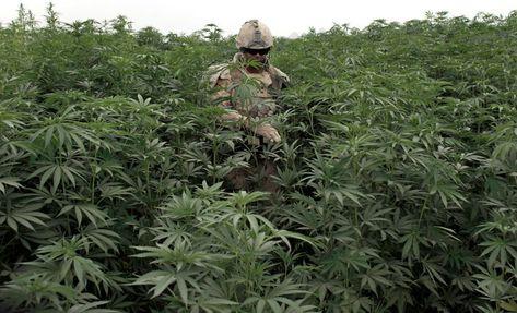 Авганистан конопля плантация марихуаны с фото