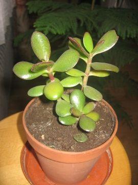 Grubosz Jajowaty Drzewko Szczescia Crassula Ovata Jade Plant Uprawa Grubosza Jajowatego Uprawa Drzewka Szczescia Sukulent Rosliny Plants Flowers Garden