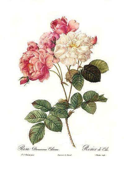 Pin By Rebekah L Smith On Pretties Vintage Flowers Antique Botanical Print Botanical Prints