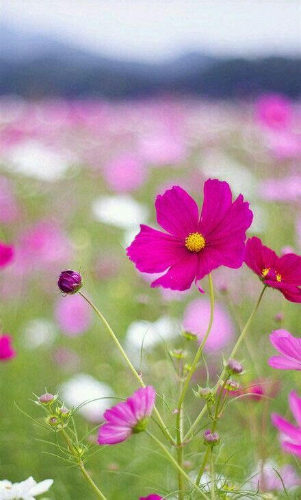 Pin By Melpo Siouti On Pretty Cosmos Beautiful Flowers Wallpapers Beautiful Flowers Hd Flower Wallpaper