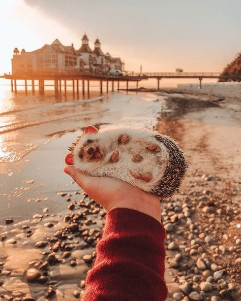 aww cute hedgehog Photo amazing - 9223639808 What a beautiful seashell! - World's largest collection of cat memes and other animals Happy Hedgehog, Hedgehog Pet, Cute Hedgehog, Baby Animals Pictures, Cute Animal Photos, Animals And Pets, Animal Pics, Smiling Animals, Happy Animals