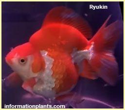 سمكة الزينة الدائرية المرقطة Ryukin سمك زينة انواع الاسماك معلومان عامه معلوماتية نبات حيوان اسماك فوائد Fish Pet Fish Pets