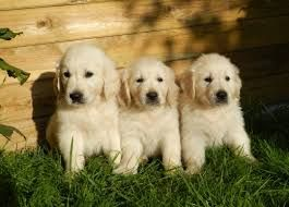 Gorgeous Long Haired English Cream White Goldens Images Google Search Female Dog Names Retriever Puppy Girl Dog Names