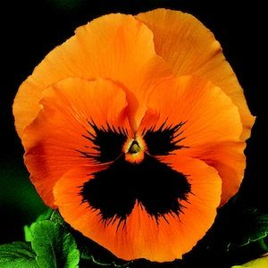 Orange and black, very dramatic pansy. Grow veggies, edible flowers or ornamental flowers at home: melaniedrohan.towergarden.com