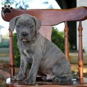 Cane Corso Puppies For Sale Cane Corso Dog Breed Info Corso Dog Cane Corso Puppies Cane Corso Dog