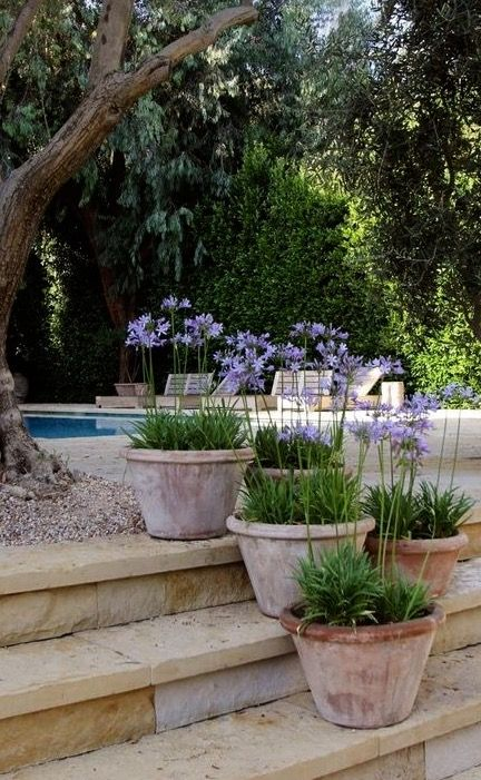 Agapanthus Navy Blue In Pots Re Pinned By Www Huttonandhutton Co Uk Huttonandhutton Huttonandhutto Plants Garden Containers Small Garden