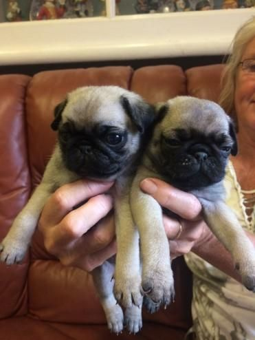 Pug Puppies For Sale Lexington Ky Pug Puppies For Sale Pug