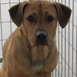 West Memphis Arkansas Labrador Retrievers Mix Meet Karl One For Adoption Www With Images Labrador Retriever Labrador Retriever Mix Dog Adoption