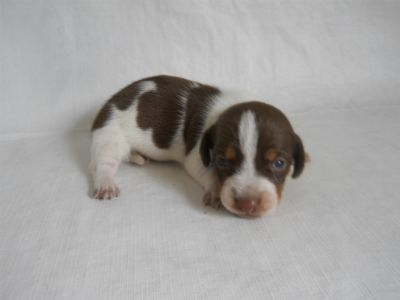 Piebi 3 Weeks Dachshund Puppies For Sale Dachshund Puppies