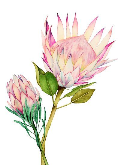 Elegant Watercolor Painting Of A Blush Pink Flowers King Protea Also Known As Sugarbushes Millions Of U Watercolor Flowers Paintings Protea Art Flower Art