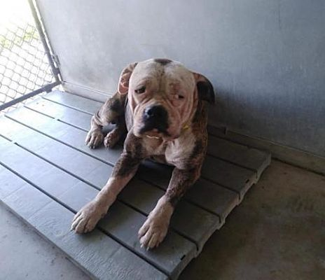 New York Ny English Bulldog Meet Tootsie A Dog For Adoption