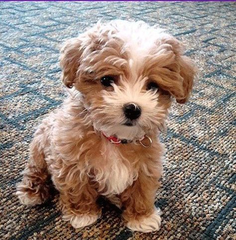 Poochon Meet The Adorable Mix Of The Bichon Frise And Poodle