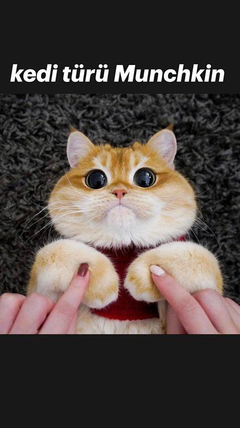kedi türü Munchkin