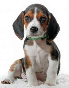 Why Beagles Make Great Pets Dog Breeds Small Dog Breeds Dog