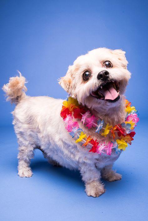 Benji Maltese X Http Thedogphotographers Com Au The Dog