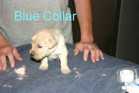 Golden Retriever Puppy For Sale In Davenport Fl Adn 28544 On Puppyfinder Com Gender Female Age 3 Weeks Old Golden Retriever Puppy Puppies
