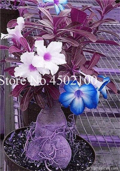 True 2 Pcs Adenium Obesum Bonsai Exotic Desert Rose Bonsai Potted Flowers Balcony Multi-Color Petals Succulents Tree plants