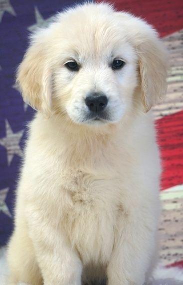 Dylan Golden Retriever Puppy 572225 Puppyspot Goldenretriever Golden Retriever Retriever
