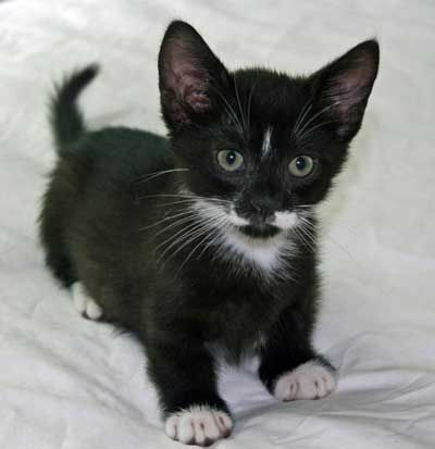 Black And White Munchkin Kittens Google Search Precious Black Google Kittens Munchkin Precious Sear Munchkin Kitten Cute Baby Animals Baby Animals