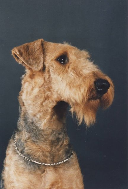 airedale terrier...... This is one beautiful Airedale hands down