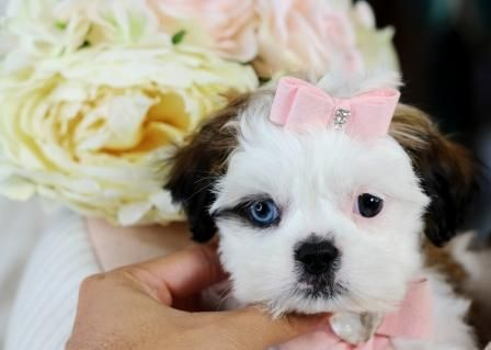Shih Tzu Puppies For Sale We Ship Very Safe Easy Financing
