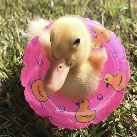 Even ducklings practice water safety Baby Animals Pictures, Cute Animal Photos, Animals And Pets, Cute Pictures, Funny Animal Pictures, Baby Animals Super Cute, Cute Little Animals, Cute Funny Animals, Pet Ducks