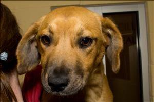 Beagle Mix Greater Birmingham Humane Society Female Applejack