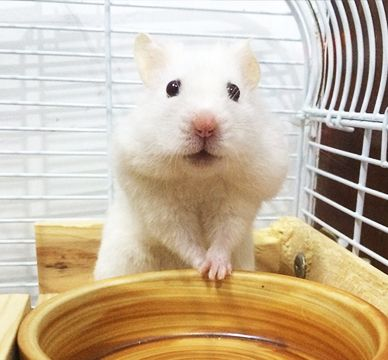 How Long Do Hamsters Live A Guide To Hamster Lifespan Little Furry Pets