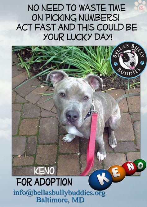 Keno For Adoption Through Info Bellasbullybuddies Org Adoption