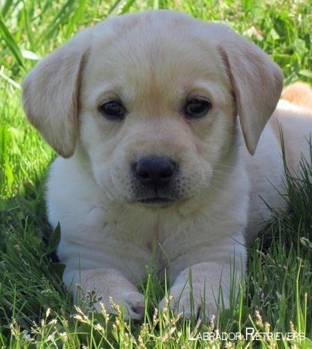 Labradors Labradors4life Labradoritejewelry Labrador Retriever