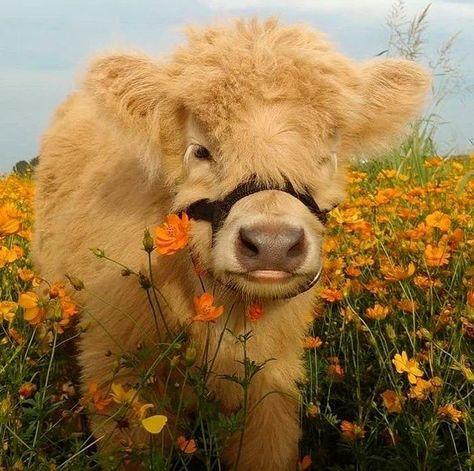 Cute Baby Cow, Baby Cows, Cute Cows, Cute Babies, Baby Farm Animals, Baby Elephants, Fluffy Cows, Fluffy Animals, Smiling Animals