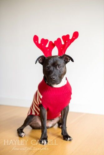 Christmas Pet Dog Portraits Photography Hayley Cattell Fine Art Photographer