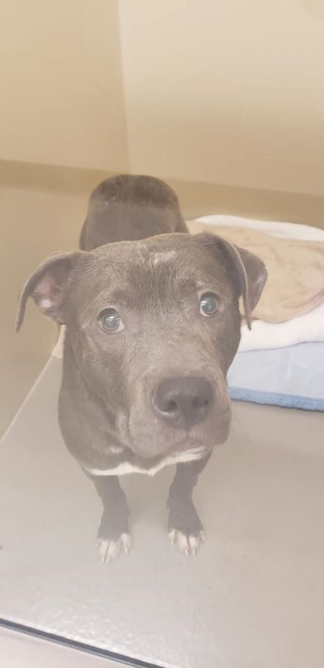 Adopt Mr Pibble Vet Room Adopted On In 2020 Dog Adoption Dog