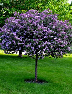 Bloomerang Tree Web Easy Landscaping Lilac Tree Landscaping Trees