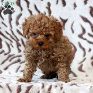 New Arrivals Poodle New Puppy Happy Animals