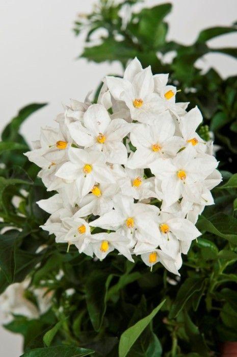 Rampicante Fiori Bianchi.Solanum Jasminoides Fiori Bellissimi Fiori