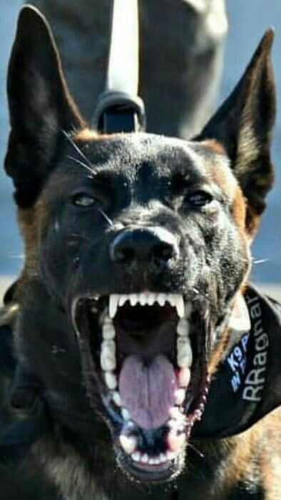Daddy S Pet Malagator P D M Belgian Malinois Dog Military
