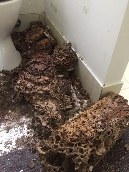 Active Termite Nest Sunshine Coast Termites Termite Treatment Protecting Your Home