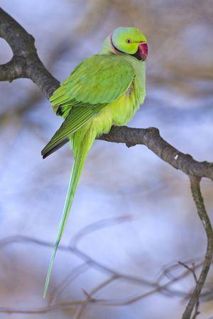 Ein Wildlebender Halsbandsittich Psittacula Krameri Auch Kleiner Alexandersittich Genannt Halsbandsittich Sittich Papagei