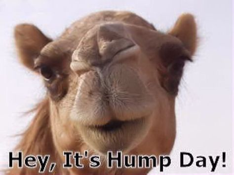 List Of Pinterest Hump Day Happy Camels Images Hump Day Happy