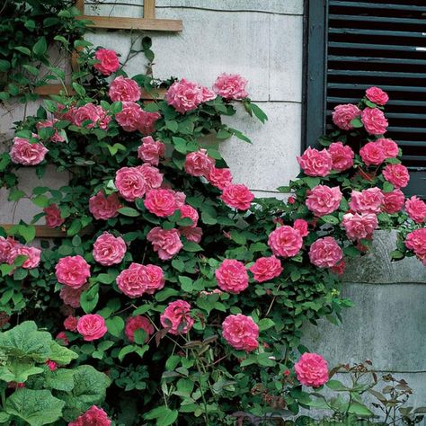 Rose Zephirine Drouhim is fragrant double pink blooms and grows up to 15 feet tall