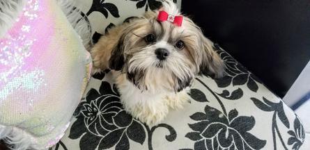 Shih Tzu Puppies Teacup Shih Tzu Shih Tzu For Sale Breeder Teacup Miniature Toy In 2020 Shih Tzu Puppy Shih Tzu Shih Tzu For Sale